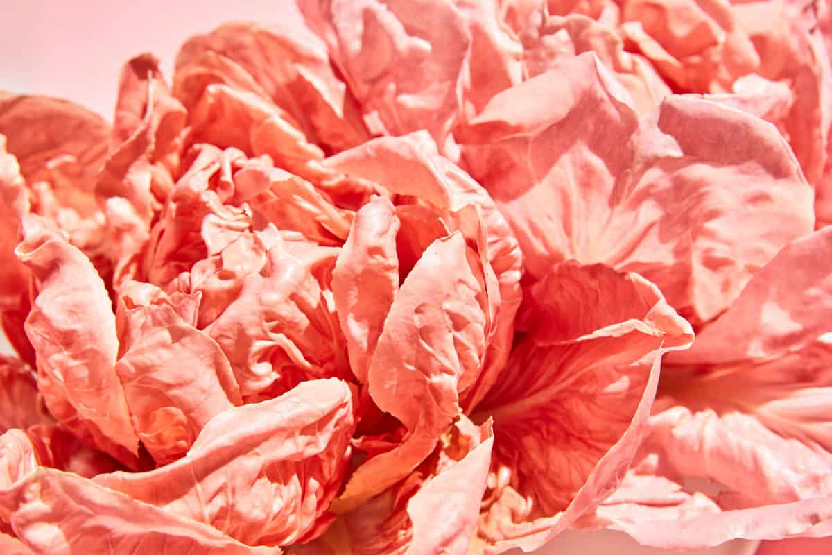 Pink Radicchio